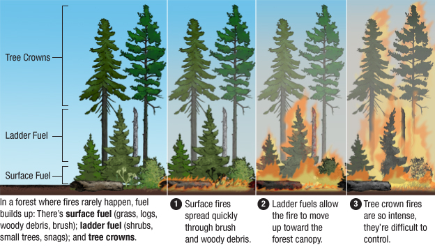 Graphic: Fire-Suppressed forests have built-up fuel that facilitates crown fires.